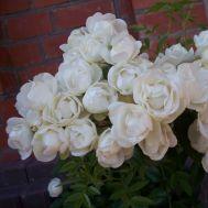Троянда Morsdag White фото