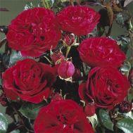 Троянда Nadia Renaissance фото