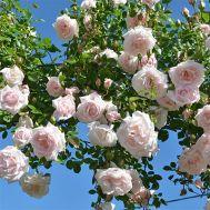 Троянда New Dawn фото