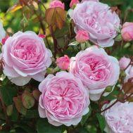 Троянда Olivia Rose Austin фото