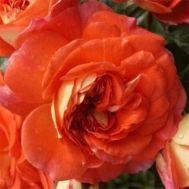 Троянда Orange Fairy фото