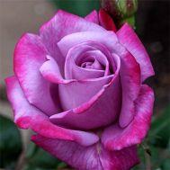 Троянда Paradise фото