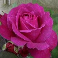 Троянда Parole фото
