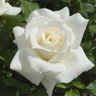 Троянда Pascali фото