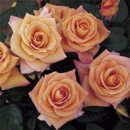 Троянда Peacekeeper фото