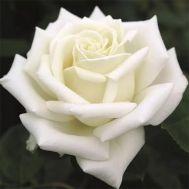 Троянда Polarstern фото