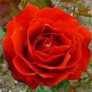 Троянда Remembrance фото