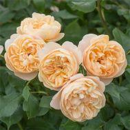Троянда Roald Dahl фото