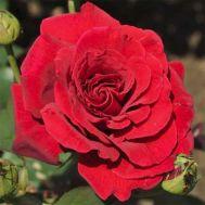 Троянда Royal Willams фото