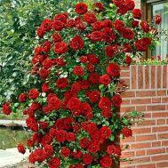 Троянда Santana фото