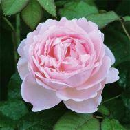 Троянда Scepter'd Isle фото