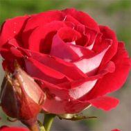 Троянда Schöne Koblenzerin фото