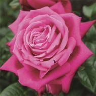 Троянда Senteur Royale фото