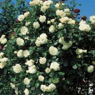 Троянда Schneewalzer фото