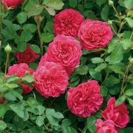 Троянда Sir John Betjeman фото