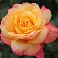 Троянда Speelwark фото