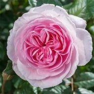 Троянда The Ancient Mariner фото