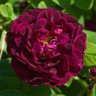 Троянда Tuscany Superb фото