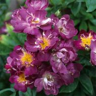 Троянда Veilchenblau (плетиста) фото