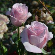 Троянда Vivaldi фото