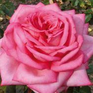 Троянда Wedding Bells фото
