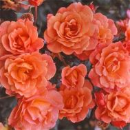 Троянда Westerland фото