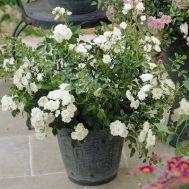 Троянда White Fairy фото