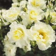 Троянда White Meilove фото