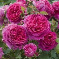 Троянда Young Lycidas фото