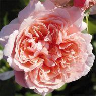Троянда Rose de Tolbiac фото