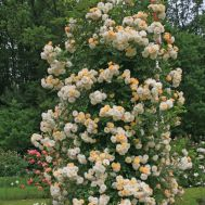 Троянда Ghislaine de Feligonde фото
