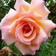 Троянда Compassion фото