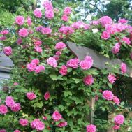 Троянда Zephrine Drouhin фото