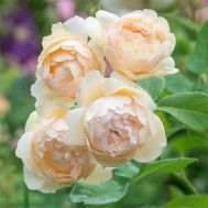 Троянда Wollerton Old Hall фото