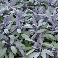 Сальвія Purple Beauty фото