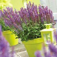 Сальвія Sensation Compact Violet фото