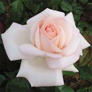 Троянда Schloss Ippenburg фото