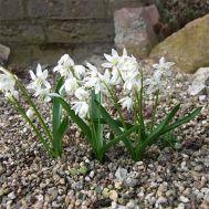 Проліска Bifolia Alba фото