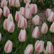 Тюльпан Silk Surprise фото