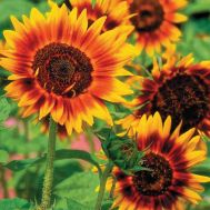 Соняшник Червоне Сонце фото