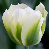 Тюльпан Spring Green фото
