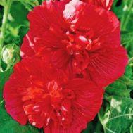 Шток-роза Майоретте, червона фото