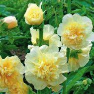 Шток-роза Майоретте, жовта фото