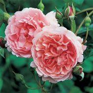 Троянда Strawberry Hill фото