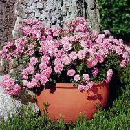Троянда Sugar Baby фото