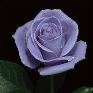 Троянда Suntory Blue Rose Applause фото
