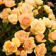 Троянда Susan Daniel фото