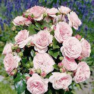 Троянда Mariatheresia фото