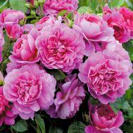 Троянда Princess Anne фото