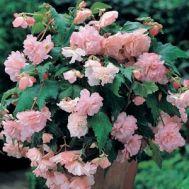 Бегонія Cascade Pink фото